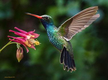 Broad-billed Hummingbird at Columbine by