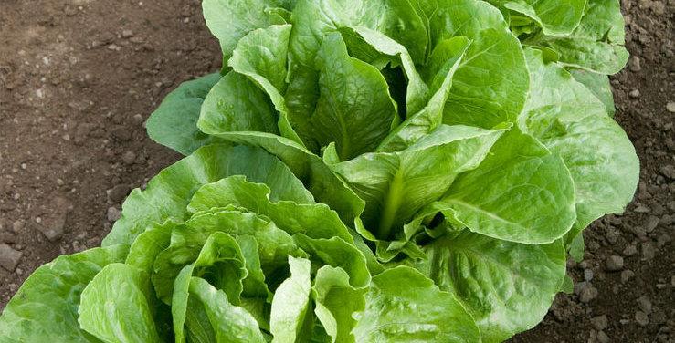 Lettuce, Coastal Star Romaine (6-pack)