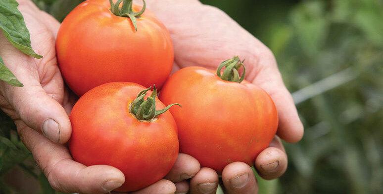 Tomato, Valley Girl