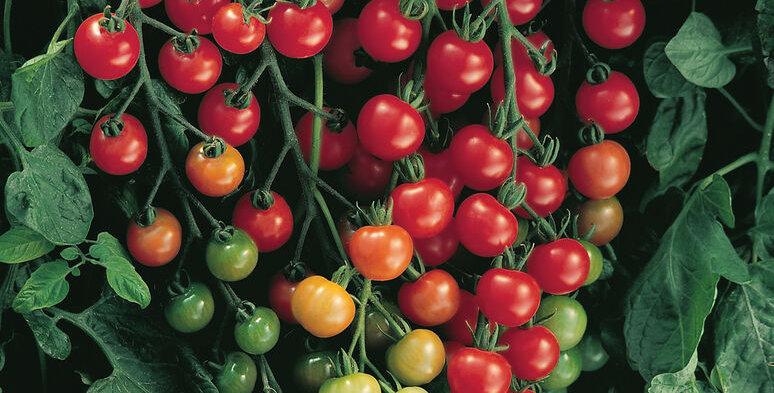 Tomato, Super Sweet 100