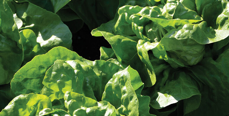 Lettuce, Adriana Butterhead (6-pack)
