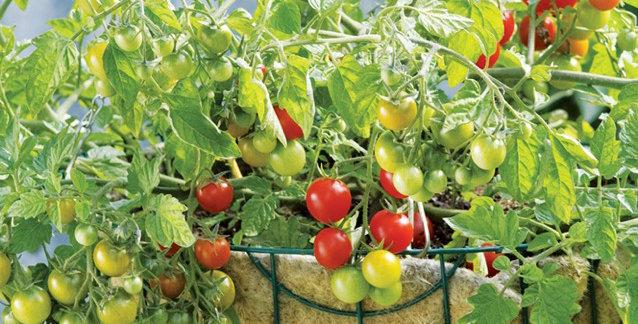 Tomato, Lizzano
