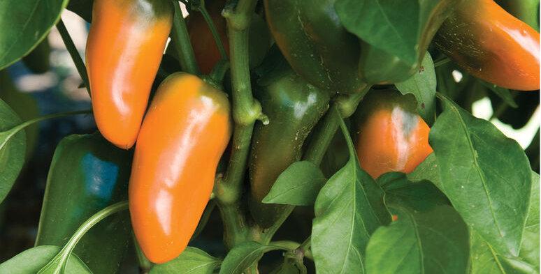 Pepper, LUNCHBOX ORANGE