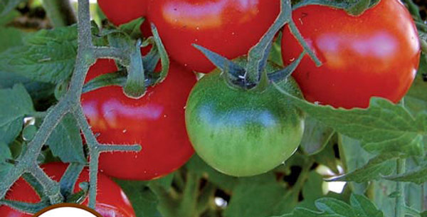 Tomato, Large Red Cherry