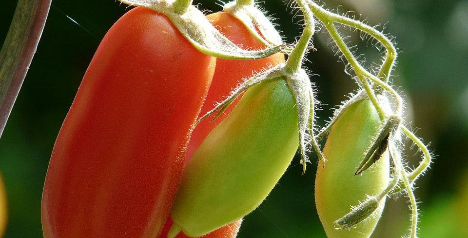 Tomato, Pomodoro Piramide