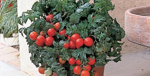 Tomato, Patio