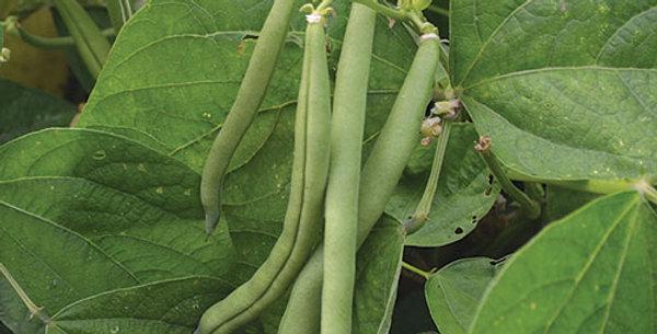 Beans - Bush, Provider (6-pack)