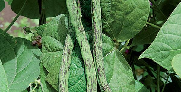 Beans - Pole, Rattlesnake (6-Pack)