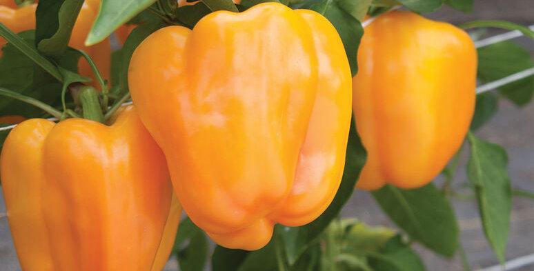 Pepper, FLAVORBURST