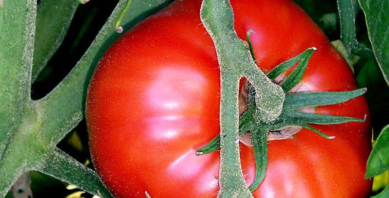 Tomato, Phoenix