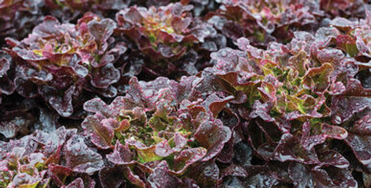 Lettuce, Red Oakleaf (6-pack)