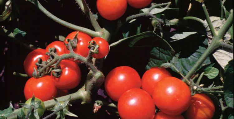 Tomato, Washington Cherry