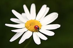 Daisy_and_Ladybug_by_vinyyli_edited