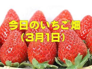 今日のいちご畑.jpg