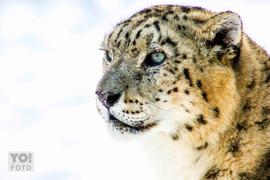 SNOW LEOPARD // Panthera uncia