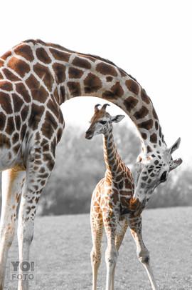 GIRAFFE // Giraffa camelopardalis