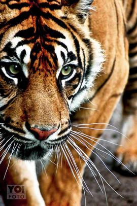 SUMATRAN TIGER // Panthera tigris sumatrae