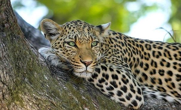 leopard-PB 640.jpg