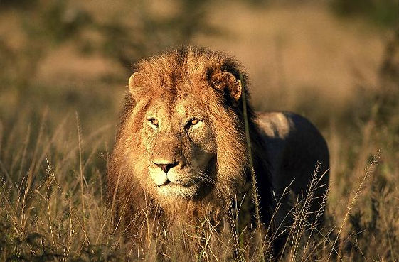 Lion SAT.jpg
