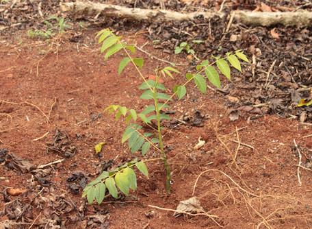 Implantando florestas de cedro australiano