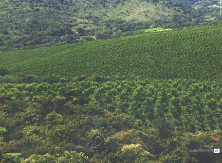 Cultivando florestas de cedro australiano