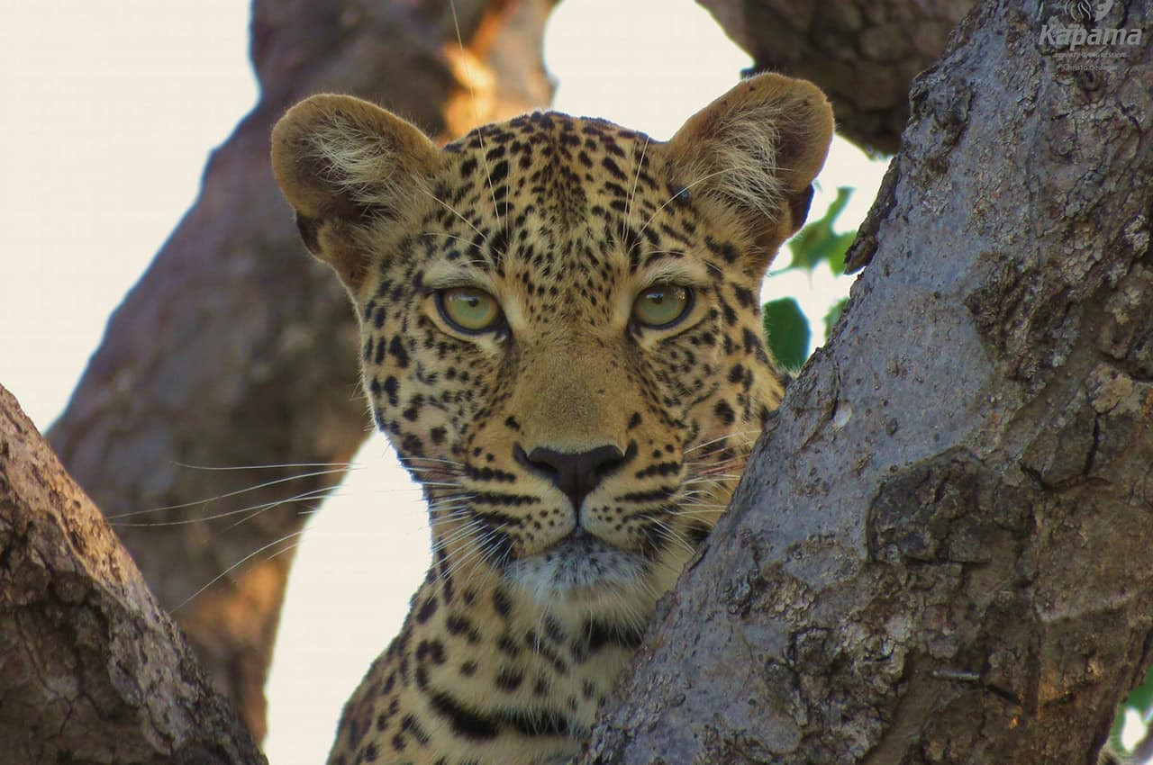 Kapama,_África_do_Sul.jpg