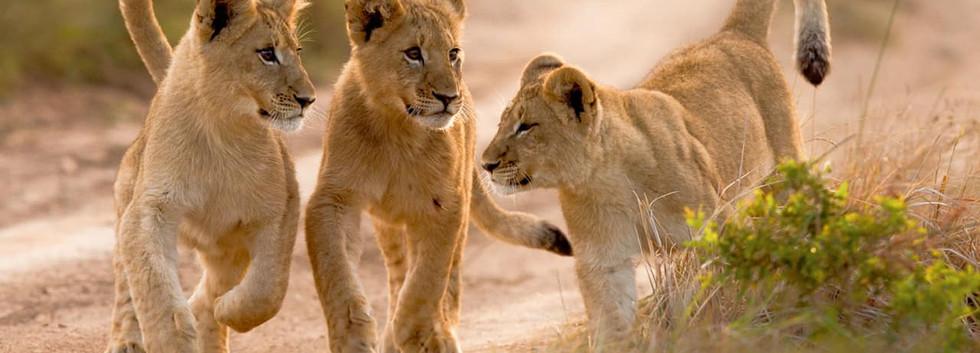 Leões filhotes - África do Sul.jpg