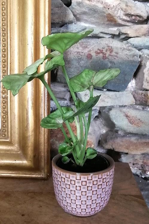 Mini plante Syngonium et pot rose