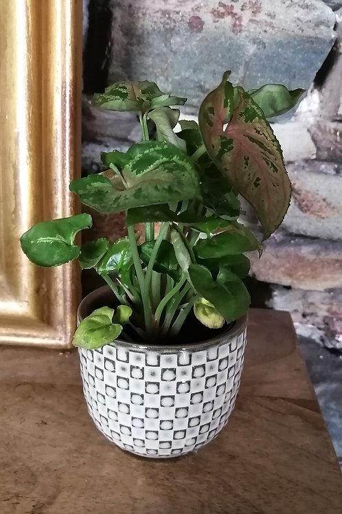 Mini plante Syngonium et pot blanc