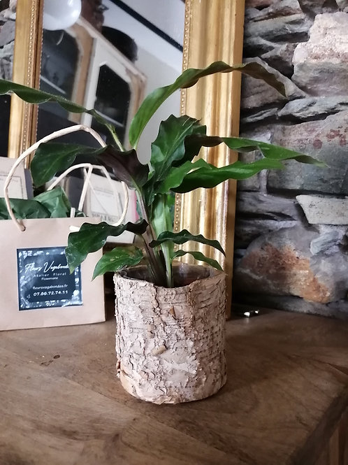 Mini plante Calathea