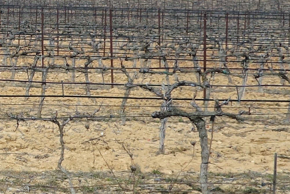 Grapevines after winter pruning