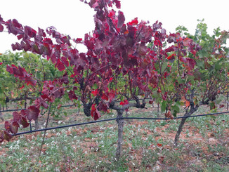 Autumnal vine