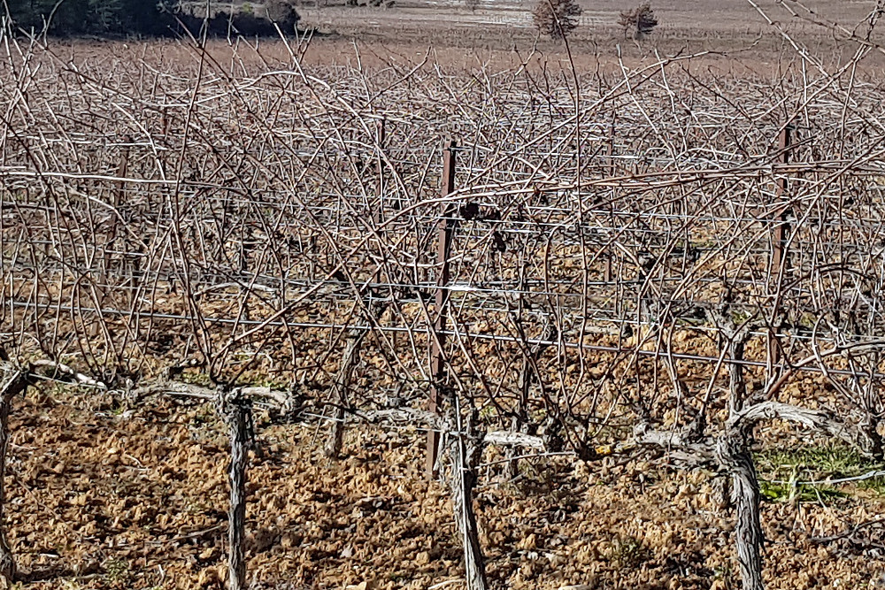 Grapevines before winter pruning