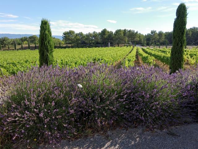 Lavender on vineyard