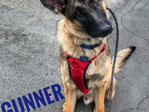 Gunner |  German Shepherd |  El Segundo, CA- In Training