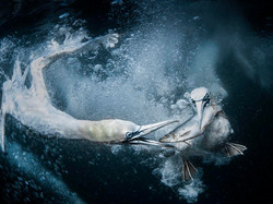Underwater Gannets