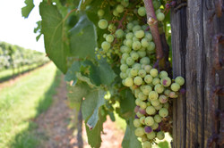 Great Shoals Maryland Wine Grapes