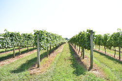 Maryland Vineyard Great Shoals