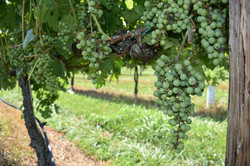 Maryland Wine Grapes - Great Shoals