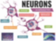 Neurons 1 PNG.png