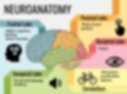 neuroanatomy poster edited.jpg