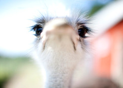 curious ostrich trying to taste the lens