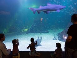 Herman the sand tiger shark