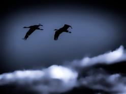 cranes in hornborgasjön