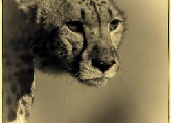 gepard in kalahari gemsbok park, just after hunt early in the morning