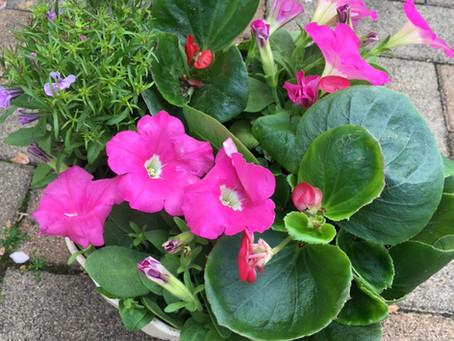 【4月の花】ペチュニア・ベコニア・ロベリアです。患者様が癒されますように。。。。。。。