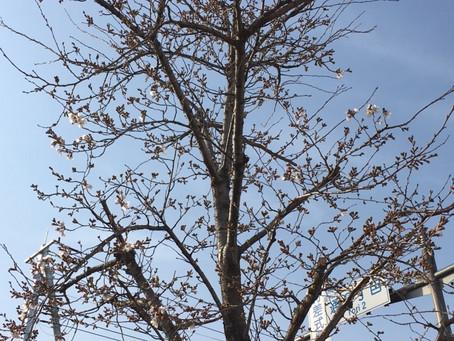 [櫻会の桜が開花致しました。】