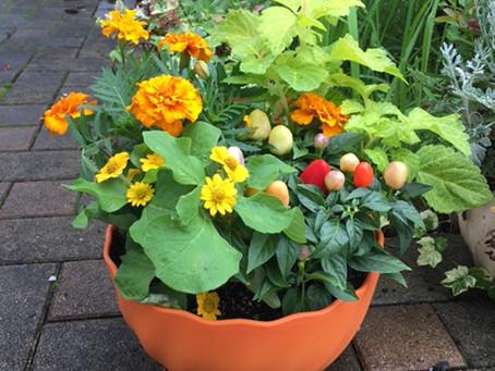【7月の花】マリーゴールド・メランポジウム・ゴシキトウガラシ・コリウス
