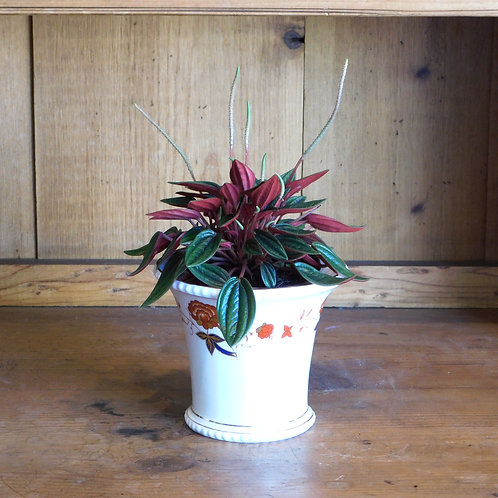 Peperomia Rosso