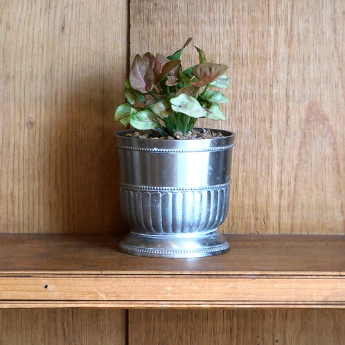 Potted Syngonium